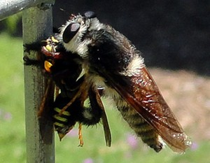Bee Killer Eats Wasp