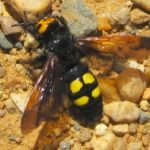 mammoth_wasp_spain_andy