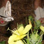 manduca_quinquemaculatus_ben