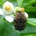 mango_flower_scarab_australia_christian