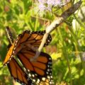 Preying Mantis eats Monarch Butterfly