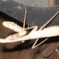 Female California Mantis