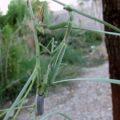 mantis_lays_eggs_lucille
