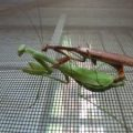 mantises_mating_ca