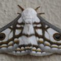 marbled_emperor_south_africa