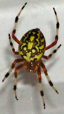Marbled Orb Weaver What S That Bug