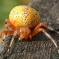 marbled_orbweaver_iowa