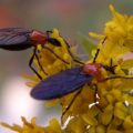 march_flies_goldenrod_derek