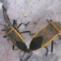 mating_bordered_plant_bugs_arizona