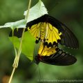 mating_common_birdwings_singapore_tom