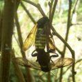 mating_elm_sawflies_canada_shawn