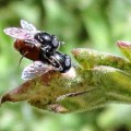 mating_flies_anna