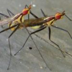 mating_flies_hawaii