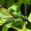 mating_jewelwings_hellywell