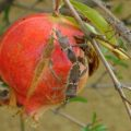 mating_leptoglossus_pomegranate
