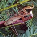 Mating Preying Mantids