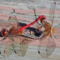 mating_meadowhawks_dee
