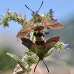 mating_olive_bee_hawkmoths_croatia_evelyne