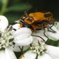 mating_pennsylvania_leatherwings
