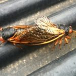 mating_periodical_cicadas_jim