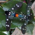 mating_polkadot_wasp_moths_cecelia