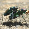 mating_purple_tiger_beetles_tori