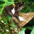 Silver Spotted Skippers Mating