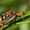 mating_soldier_beetles_trevor_australia