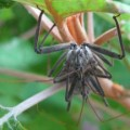 mating_wheel_bugs_cara_2