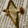 melonworm_moth_kris
