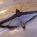 melonworm_moth_tennessee