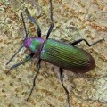 metallic_beetle_mexico_axel