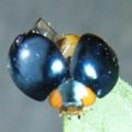 metallic_blue_ladybeetle_hawaii_dasi