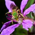 metallic_sweat_bee_colin