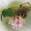 metallic_sweat_bee_ramsey