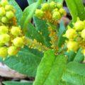 milkweed_aphids_derrick