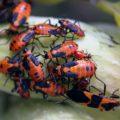 milkweed_bug_aggregations_martzart