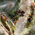 milkweed_bugs_derek
