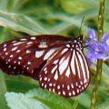 milkweed_butterfly_solomons_bruce