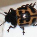 milkweed_leaf_beetle_lisa