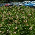 milkweed_patch_karl