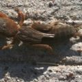 mole_cricket_alex