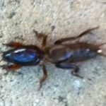 mole_cricket_australia_grace