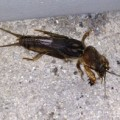 mole_cricket_kevin