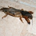 mole_cricket_montenegro