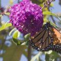 monarch_20120804