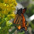 monarch_brittany