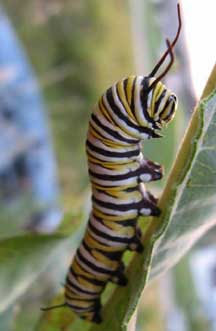 monarch caterpillar metamorphosis  tachinid fly parasites whats  bug