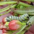 monarch_cats_anna_20121203