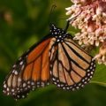 monarch_karl